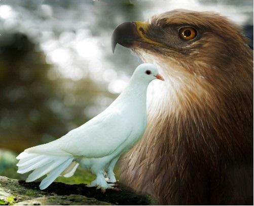 Adler Taube
