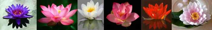 lotus_blau-blog